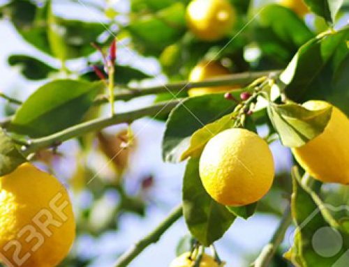 Smaller lemons coming out of California
